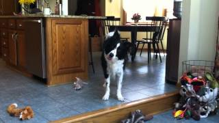 Karl The Smart Border Collie