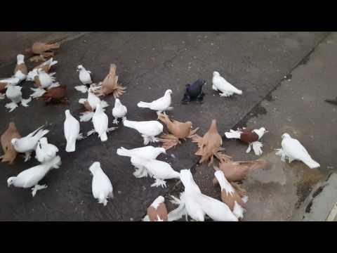 کبوتر تبریز