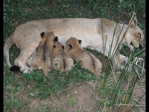 Lioness nursing 3 cubs 4 weeks old - #4 of 6