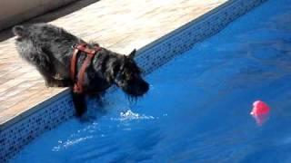 Standard Schnauzers Swimming