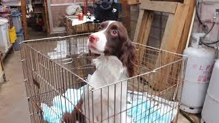 【子犬販売 スマイルわん】で検索! http://smile-1one.com/englishspri...