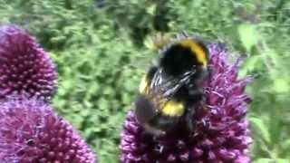 Native English Bombus Magnus (Home Bred) Read Description for More Info