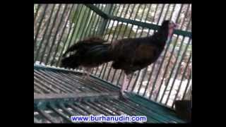 suara ayam hutan asli bernuansa jawa