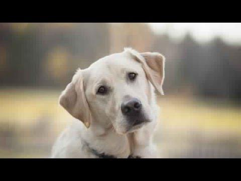 1957ab45f صور وانواع واسعار كلاب للبيع 2019 - موقع بيع الكلاب كلاب بوليسية صغيرة في  الاردن جيرمن شبرد. سوق الحيوانات في السعودية