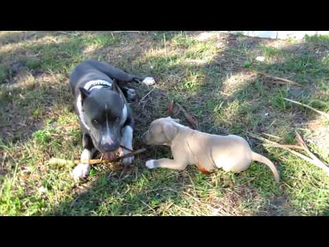 Blue Nose Pit Bull Puppy for sale in Fort Lauderdale Area Rhino Playing with his puppy.
