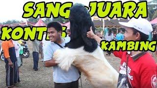 Video KONTES KAMBING ETAWA (KALIGESING) DI PATI JAWA TENGAH download MP3, 3GP, MP4, WEBM, AVI, FLV September 2019