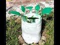 Поделки - Берёзки из пластиковых бутылок для саженцев. DIY RoSa - Birch tree from a plastic bottle.