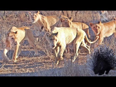 Porcupine Takes on Pride of Lions (Including rare white lion)