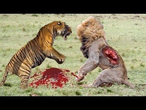 Cheetah vs lion vs tiger - photo#16