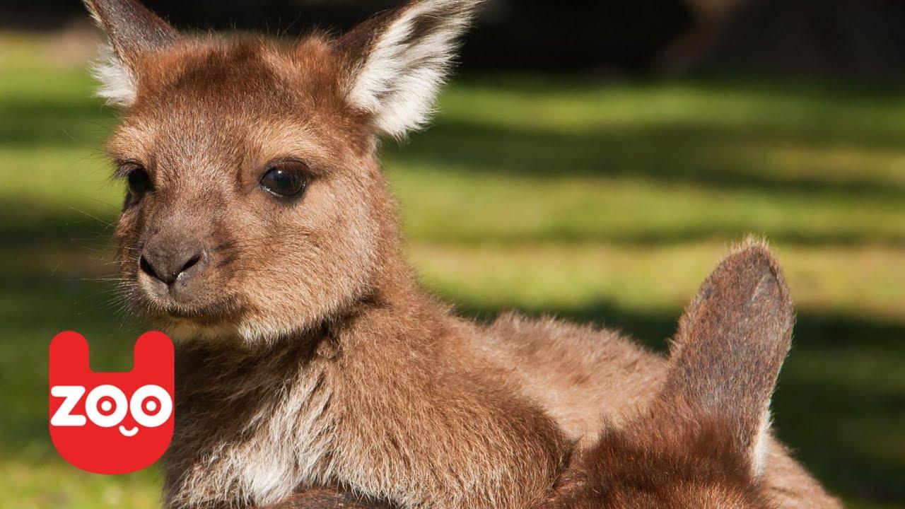 Cute Baby Kangaroo In Chapultepec Zoo Youtube