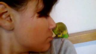 Giving my Budgie a head scratch with my NOSE