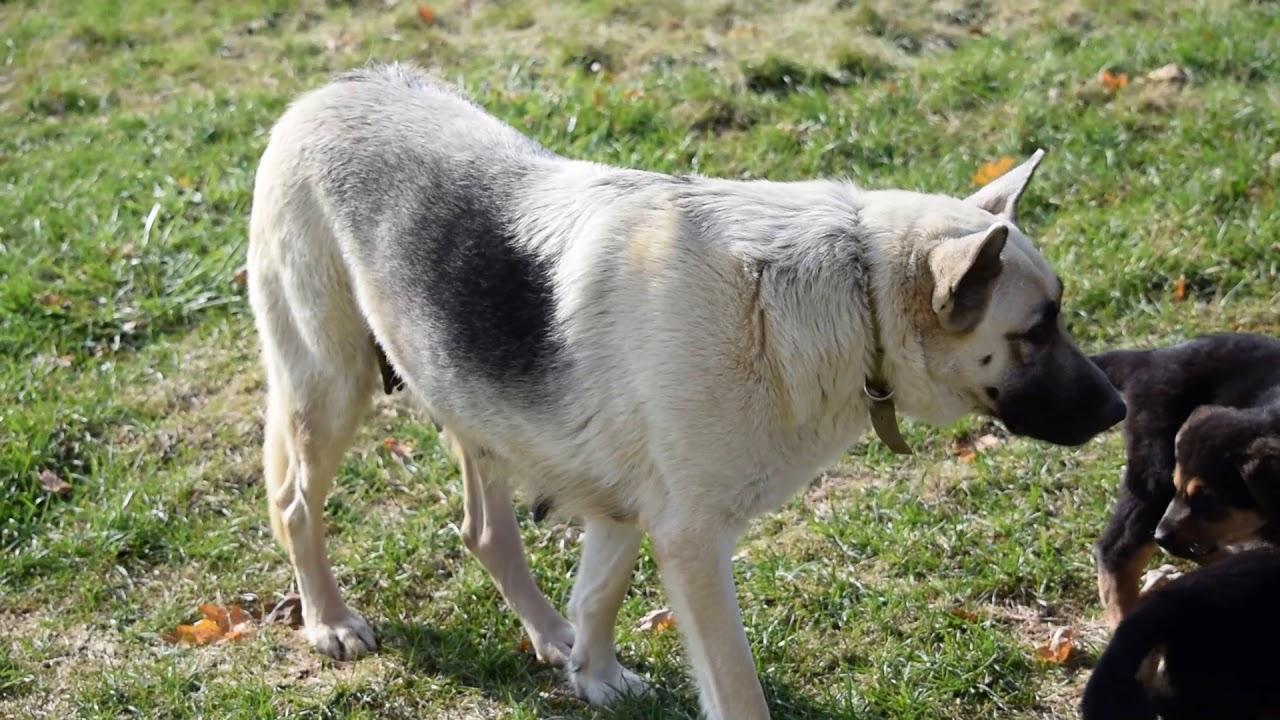 Puppyfinder Com German Shepherd Rottweiler Mix Puppy For Sale
