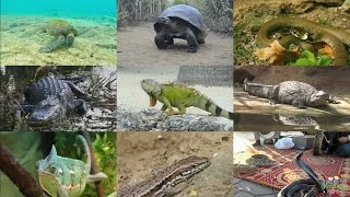 the reptiles for kids pronunciation in english with videos