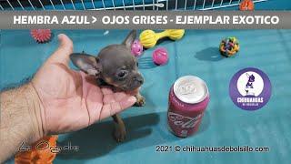 Chihuahua Mini Toy Exótica Azul - chihuahuasdebolsillo.com
