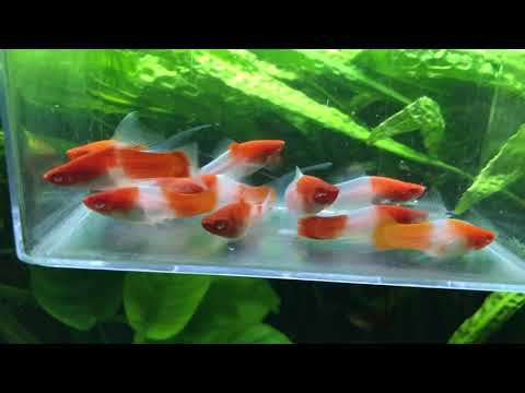 Some Types Of Swordtail Fish
