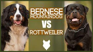 BERNESE MOUNTAIN DOG VS ROTTWEILER