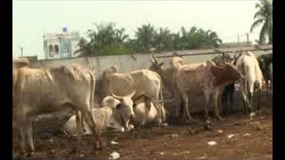 Abattoir de Cotonou devenu outil indispensable dans la vente de boeufs ok Mode Expert