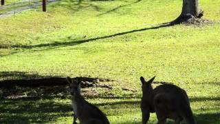 Kangaroos Coffs Harbour 1st Aug