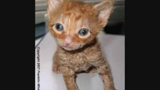 Tennessee Rex cat breed history