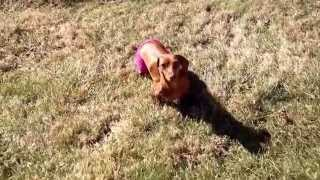 Lokie The Dachshund Tries To Take Off Her Sweater