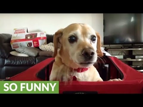 Dog throws temper tantrum after receiving new crate