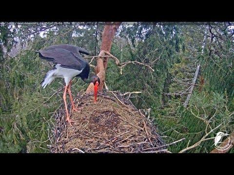 LDF Melnais stārķis tiešraide / Black stork webcam in Latvia