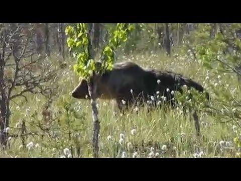 Полицейские из Ревды помогли грибнику спастись от медведя