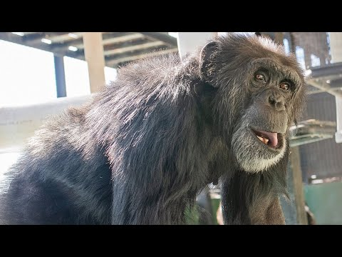Research Chimp 'Captain Kirk' Transported to Sanctuary