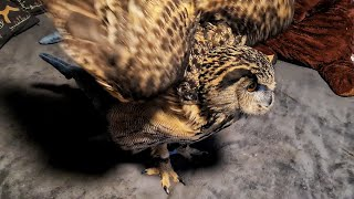 Keep an Eagle owl at home or not? Comments of veterinarian Maria Markina