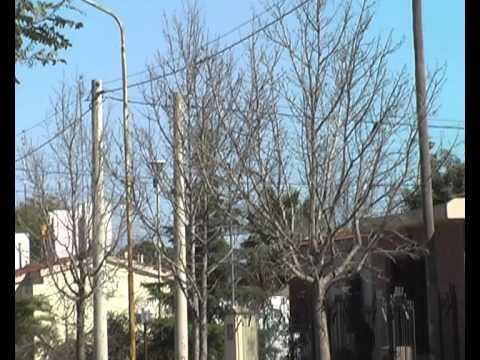 arbolado urbano repaso de poda arbol liquidambar youtube