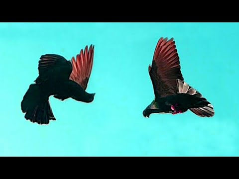Roller Pigeon   American Tumbler Pigeon Stunts   Birmingham Rollers Pigeon In California