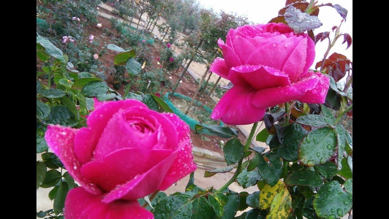 Hoa hồng cổ sapa.