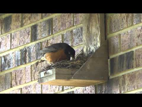 Do it Youself Best Ever Robin Nest Box, Mother Robin feeds chicks and removes waste sack