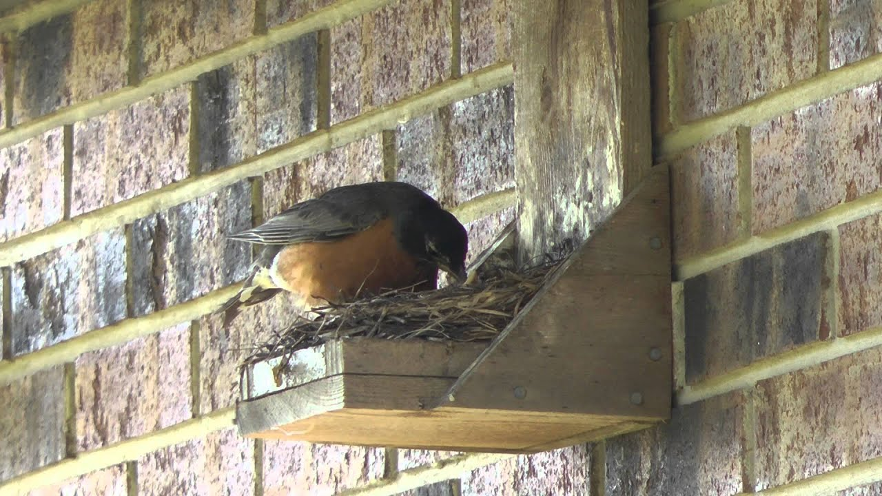 Do It Youself Best Ever Robin Nest Box, Mother Robin Feeds