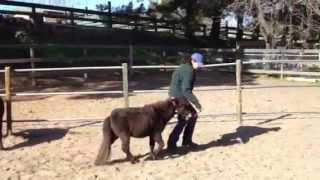 Mini Therapy Horse Henry Kapono Learns to Trot in Hand