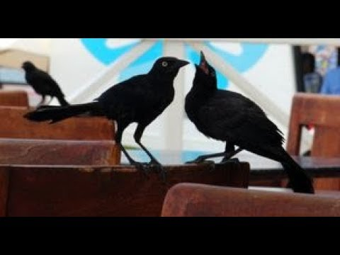 Download Seeing Evil Birds or Flies as Evil Omen of Witchcraft