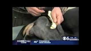 Canine Hip Dysplasia- Fho Surgery