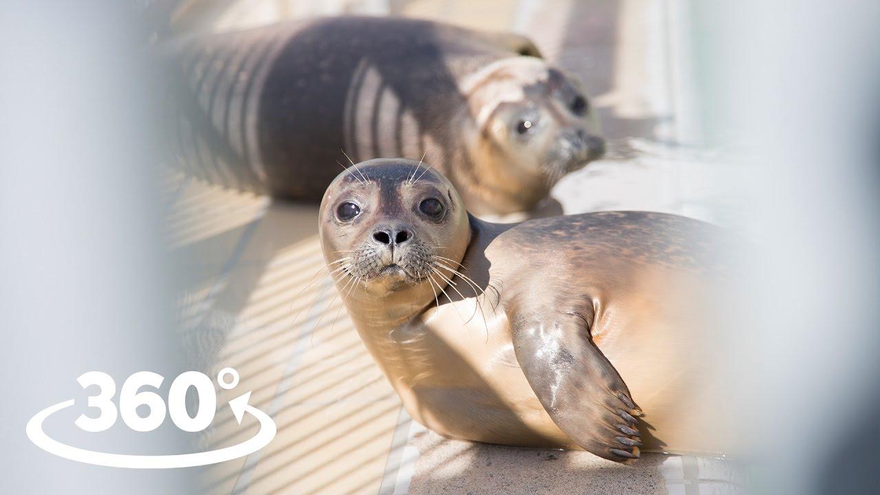 Rescued Seals (Pieterburen) VR / 360° Video Experience