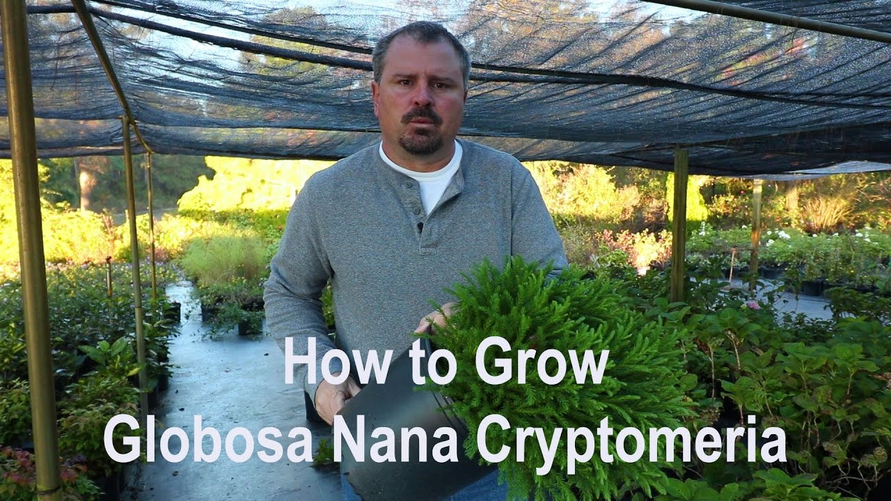 How To Grow Globosa Nana Cryptomeria Dwarf Japanese Cedar With