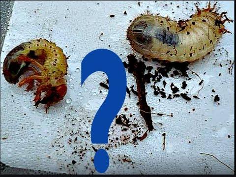 Вопрос: Появляются ли на Земле новые виды насекомых?