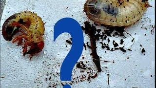 Личинки капустянки, личинки травневого хруща і бронзовкі Відмінності