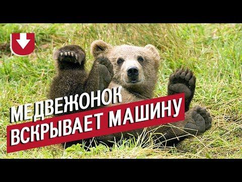 Необычный автовор. Машину американца долго пытался вскрыть... медведь!