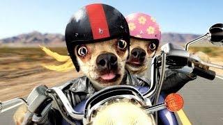 Прикольные собаки экстремалы на мотоциклах