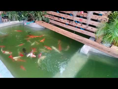 ทำบ่อปลาคาร์ฟ Phase2 ย้ายปลาลงบ่อ