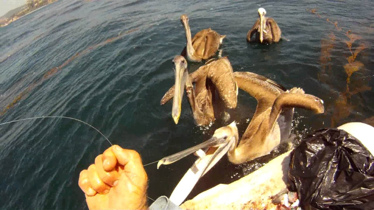 Dana point fishing with todd kuchar attack of the for Dana point fish count