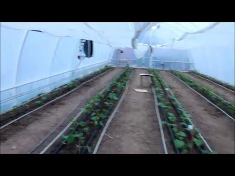 видео: Высадка рассады огурцов в теплицу