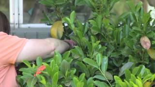 How to Trim & Shape Hedges : Grow Guru