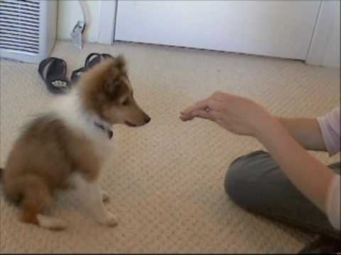 Buffy's Tricks!-Sheltie Puppy