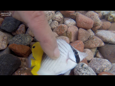 Juvenile Threadfin Butterflyfish