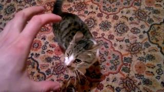 Кошка сходит с ума при виде руки. Приколы про котов. Коты
